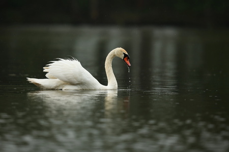 Male swan monitoring the lake