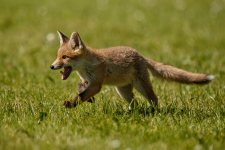 Red fox pup running on the grass