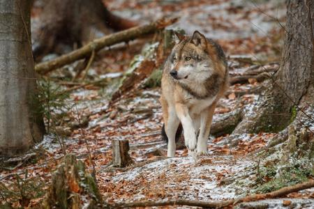 Eurasian wolf in its natural habitat Reklamní fotografie