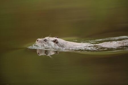 River otter swimming in a river