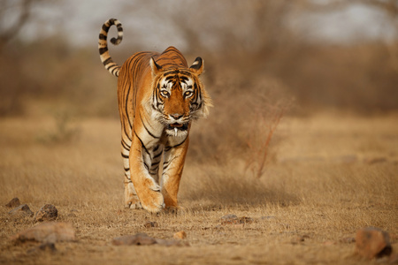 Tiger walking in the wild