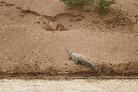 Indian gavial in its natural habitat