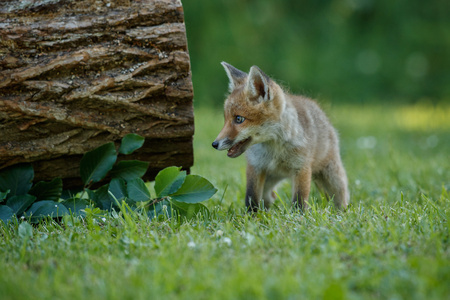 Red fox pup in a field