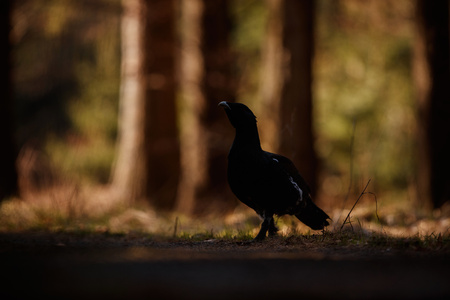 Male western capercaillie in the wild