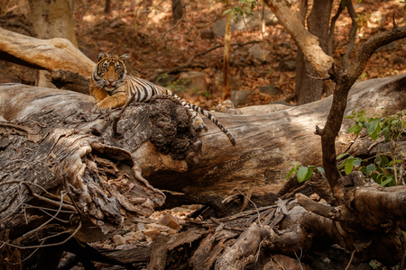 Tiger resting in the wild Banco de Imagens
