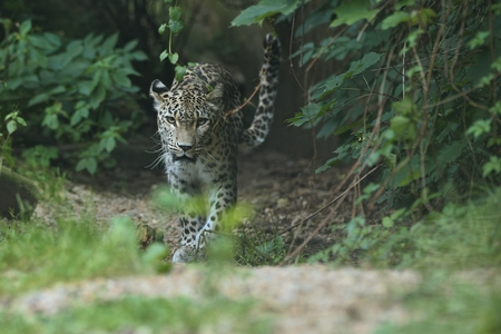 Endangered amur leopard walking