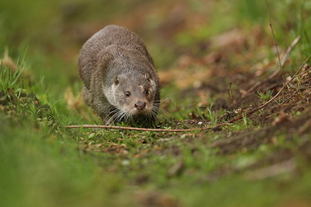 River otter walking on grass