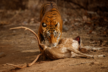 Tiger cub eating a deer