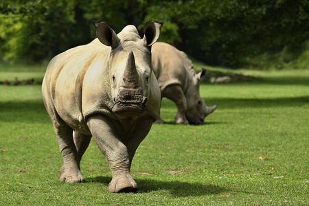White rhinoceroses walking