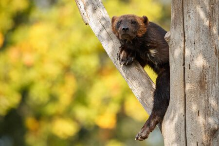 Wolverine hanging from a tree Banco de Imagens