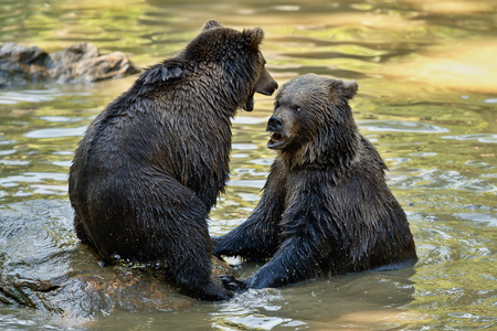 Fight between two bear brothers Banco de Imagens