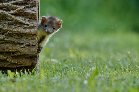 Beech marten by a tree trunk