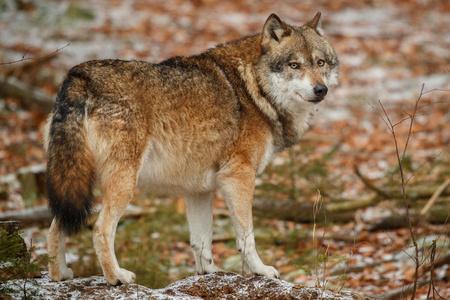 Eurasian wolf in its natural habitat Reklamní fotografie - 92667378