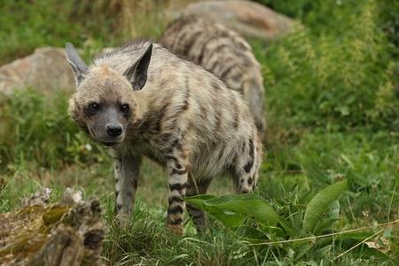 Brown hyena in the wild Reklamní fotografie