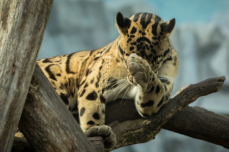 Clouded leopard on tree trunk Banco de Imagens