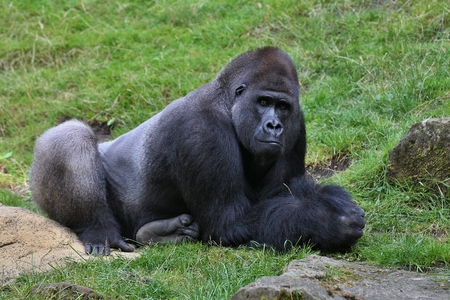Eastern gorilla on grass