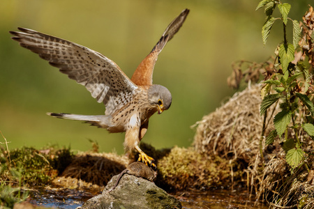 Common kestrel hunting a mouse