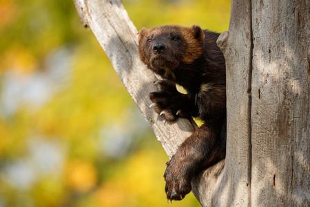 Wolverine hanging from a tree Reklamní fotografie