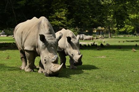 Rhinoceroses in a field Reklamní fotografie