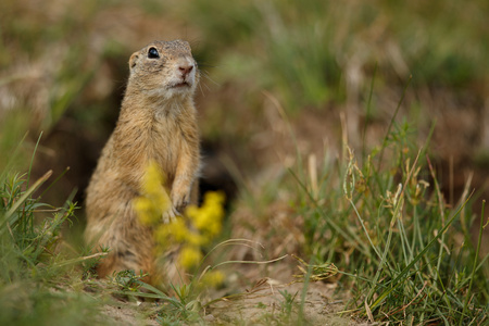 Common ground squirrel in a meadow Banco de Imagens - 92655530