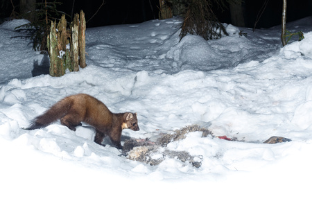 Beech marten hunting in the snow