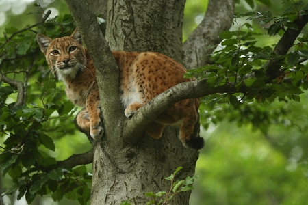 Eurasian lynx in a tree