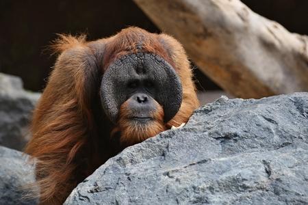 Bornean orangutan by a rock Reklamní fotografie