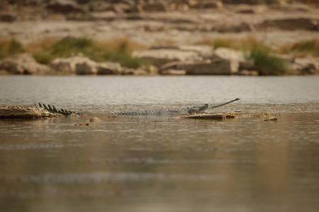 Indian gavial by a river bank Reklamní fotografie