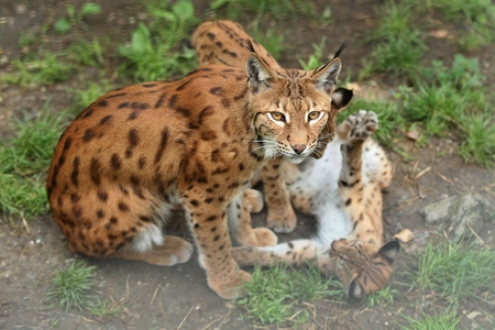 Eurasian lynx with her cubs