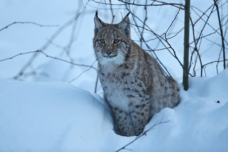 Eurasian lynx in the snow