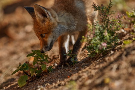 Red fox sniffing plants