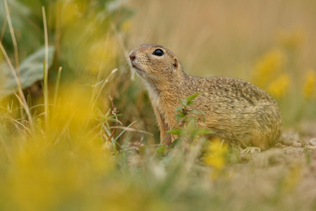 Common ground squirrel in a meadow