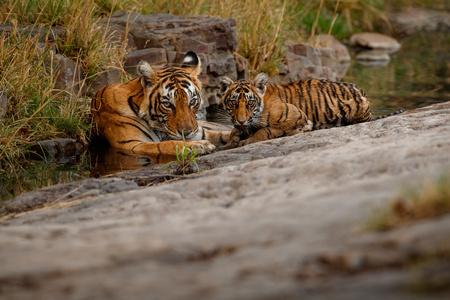 Tigress with her cub Reklamní fotografie