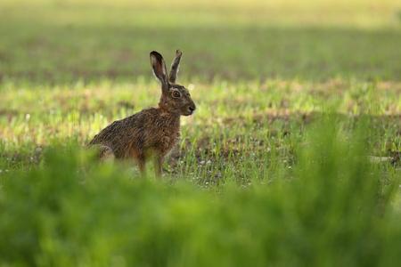 Rabbit in a field Reklamní fotografie