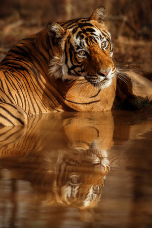 Tiger resting in a pool of water