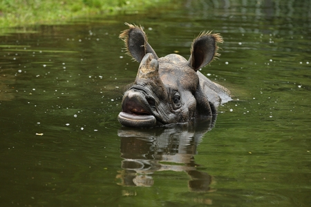 Rhinoceros in a pool of water