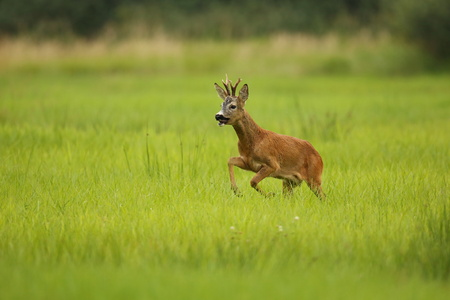 Young stag in a field