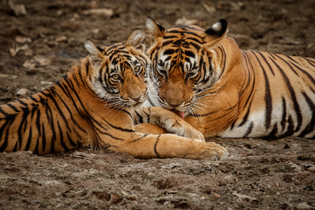 Tigress licking her cub