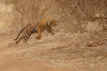 Tiger running in the wild Banco de Imagens