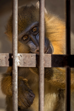 Young mandrill in a cage