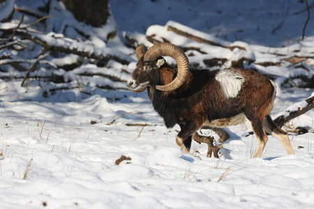 European mouflon sheep in the wild