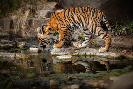 Tiger drinking by a riverbank