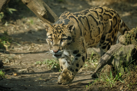 Clouded leopard walking in the wild Stock Photo