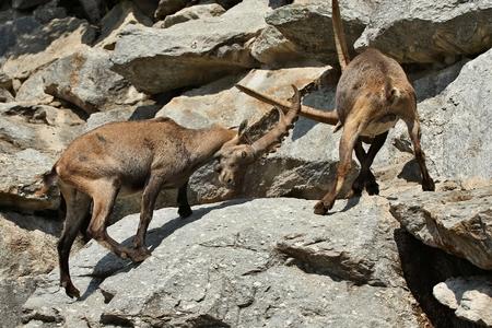 Alpine Steinbock kämpfen auf einem felsigen Berg Standard-Bild - 92612840