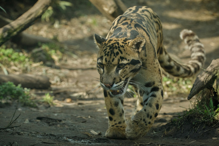 Clouded leopard walking in the wild Banco de Imagens