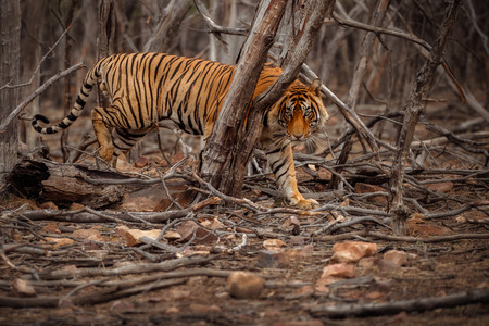 Tiger in the woods Banco de Imagens