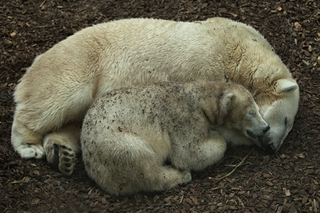 Polar bears asleep on the ground