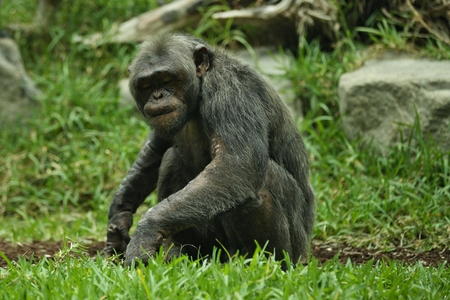 Chimpanzee, Pan troglodytes in the zoo