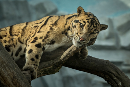 Clouded leopard in the zoo Banco de Imagens - 92656725