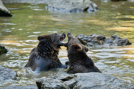 Two bears fighting at a pool